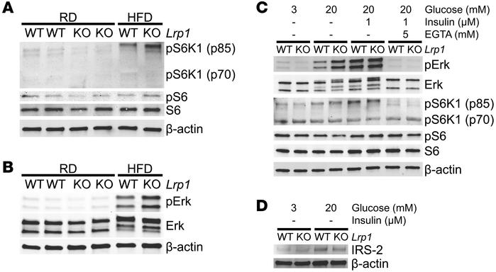 LRP1 controls Erk-mTORC1 activation and IRS-2 suppression in β cells. (A...