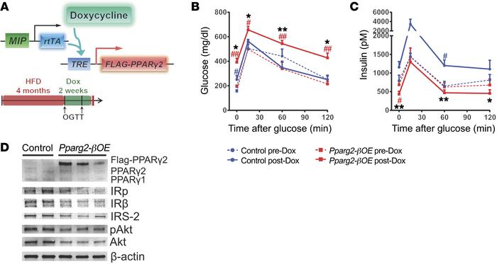 PPARγ2 overexpression impairs GSIS and insulin signaling in β cells afte...