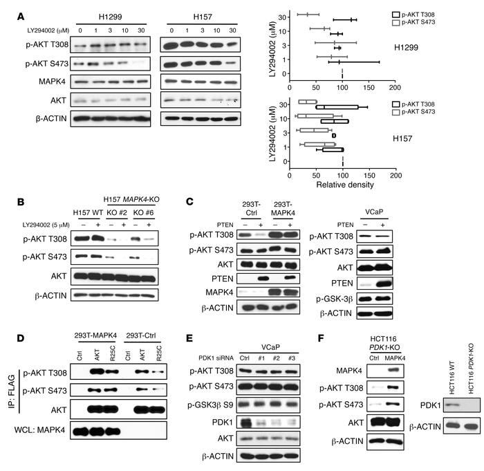 MAPK4 activates AKT independent of PI3K/PDK1. (A) H1299 and H157 cells w...