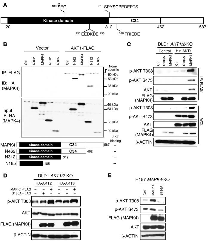 The molecular basis for MAPK4 binding to AKT, part 1. (A) The domain arc...