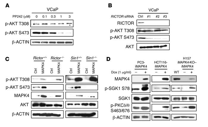 mTORC2 mediates MAPK4-induced AKT phosphorylation at S473. (A) VCaP cell...