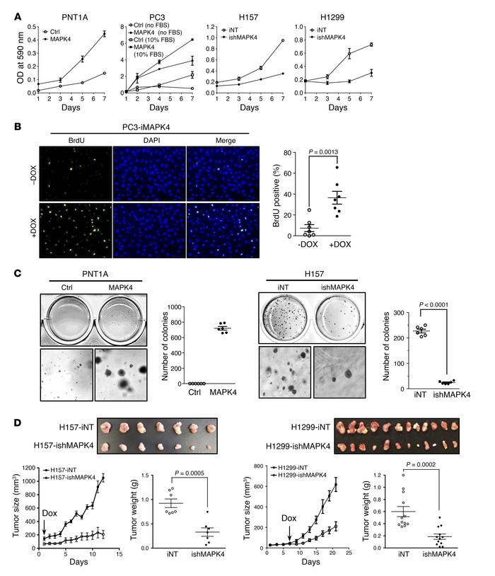 MAPK4 induces oncogenic outcomes. (A) MTT assays comparing the prolifera...