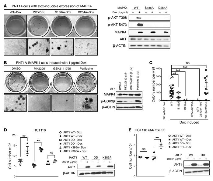AKT activation is crucial for mediating MAPK4 tumor-promoting activity. ...
