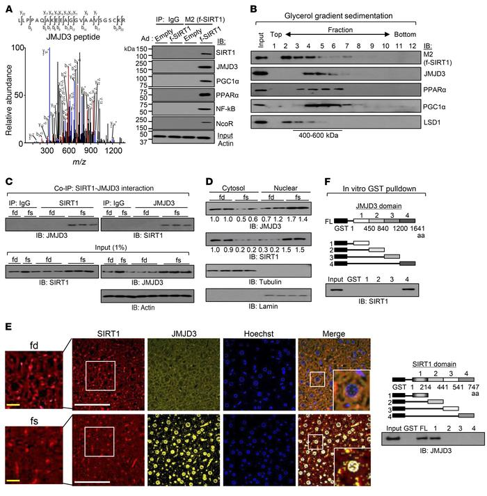 JMJD3 is a SIRT1-interacting protein. (A) Proteins in HepG2 cells associ...