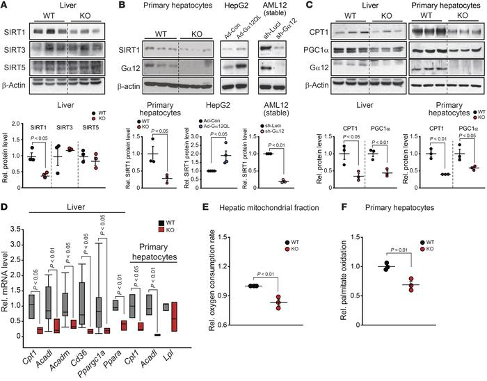 Gα12 regulation of SIRT1-dependent mitochondrial respiration in the live...