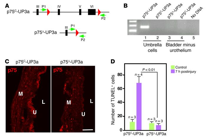 Selective deletion of p75 among umbrella cells results in complete block...