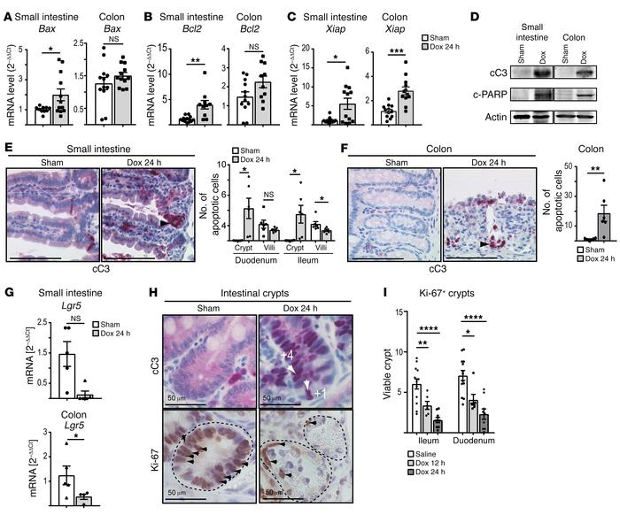 Mice with forced TNK1 expression show massive apoptosis at the base of t...