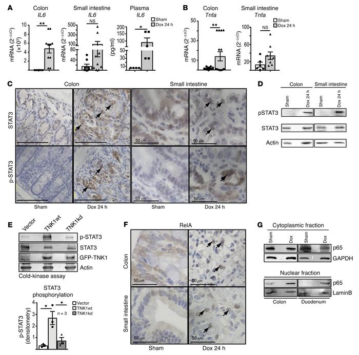 TNK1 expression results in activation of transcription factors STAT3 and...