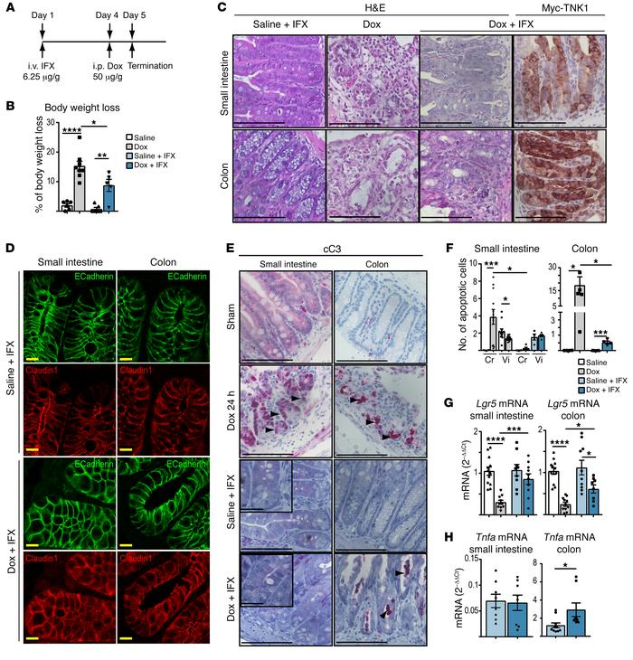 Infliximab abolishes TNK1-induced apoptosis in the small intestine and d...