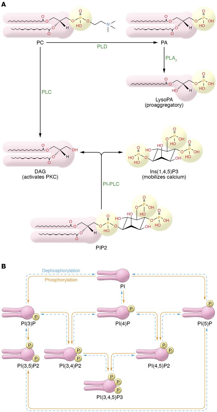 PLC, PLD, and phosphoinositide pathways. (A) PLC and PLD generate lipid ...