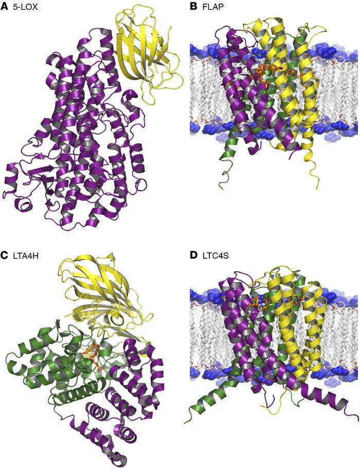 Crystal structure of the key enzymes and proteins in leukotriene biosynt...
