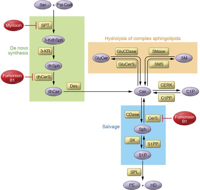 Overview of sphingolipid metabolism. Cer plays a central role in the com...