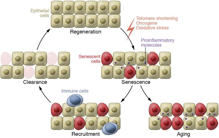 Senescence and consequences for tissue homeostasis. Senescence can have ...