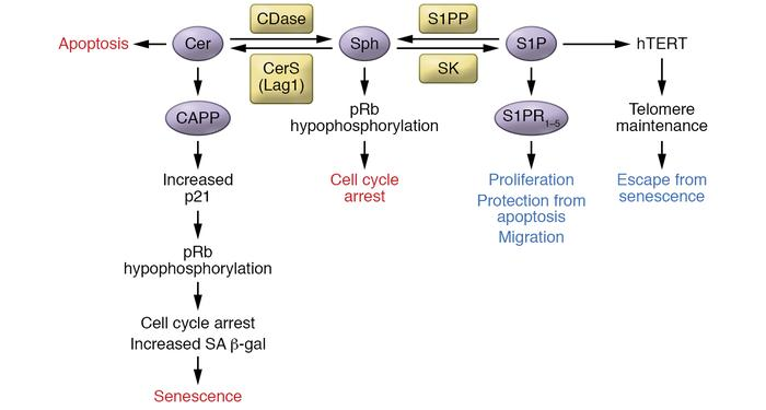 Mechanisms by which sphingolipids regulate senescence. Cer and S1P have ...