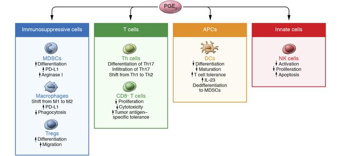 A model of PGE2-regulated tumor-associated immunosuppression. PGE2 regul...