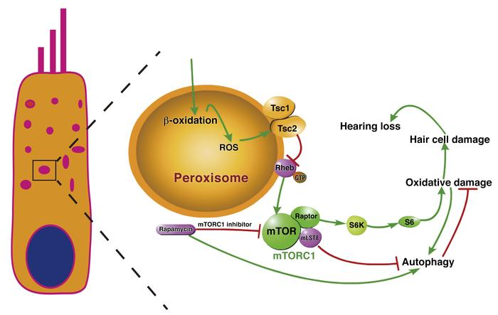 Overview of the regulation of redox homeostasis and Tsc/mTORC1 signaling...
