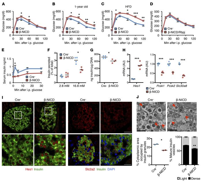 β Cell Notch activation prevents normal GSIS, leading to glucose intoler...