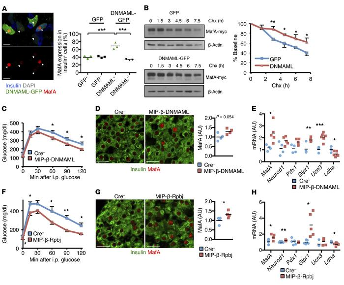 Notch loss of function stabilizes β cell MafA and improves glucose toler...