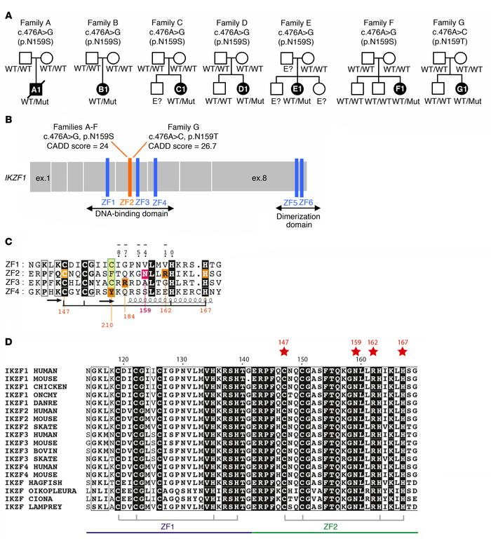 Pedigree analysis in patients with IKZF1N159S/T mutations. (A) Pedigrees...