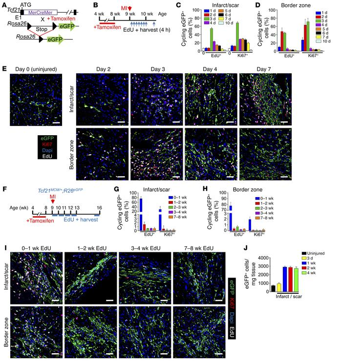 Proliferation of Tcf21 lineage–traced fibroblasts after MI. (A) Schemati...