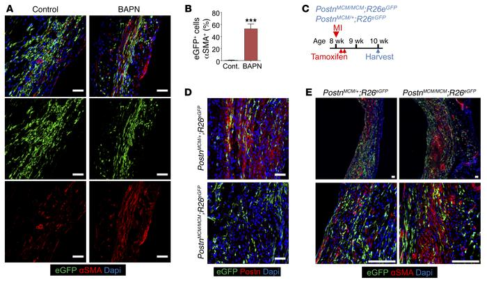 Effect of ECM maturation on αSMA expression in myofibroblasts. (A and B)...