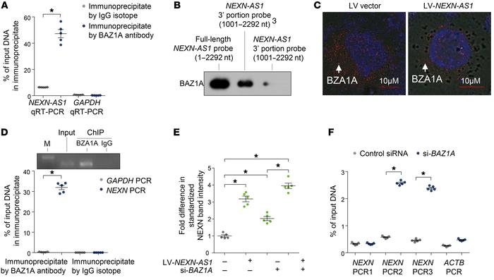NEXN-AS1 interacts with BAZ1A, which downregulates NEXN expression. (A)...