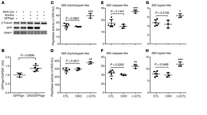 Ubqln1-CKO impairs myocardial UPS performance without affecting proteaso...
