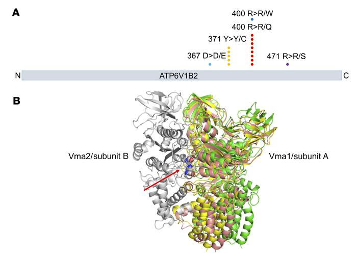 Graphical display and 3D modeling of FL-associated ATP6V1B2 (v-ATPase) m...