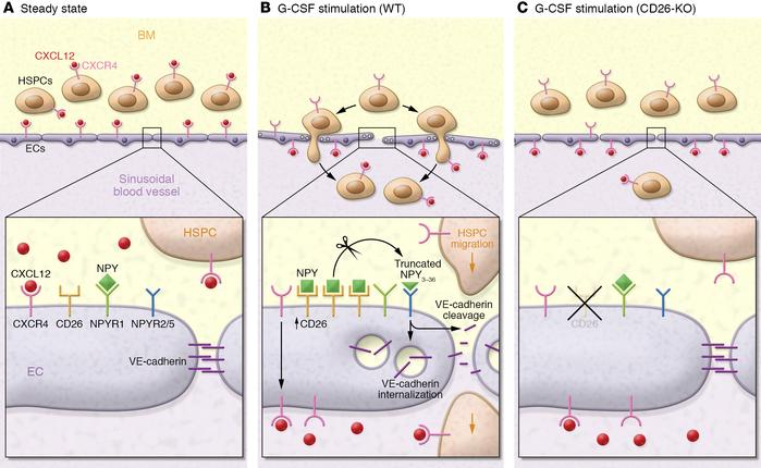 Model of the mechanisms that promote G-CSF–induced HSPC mobilization. G-...