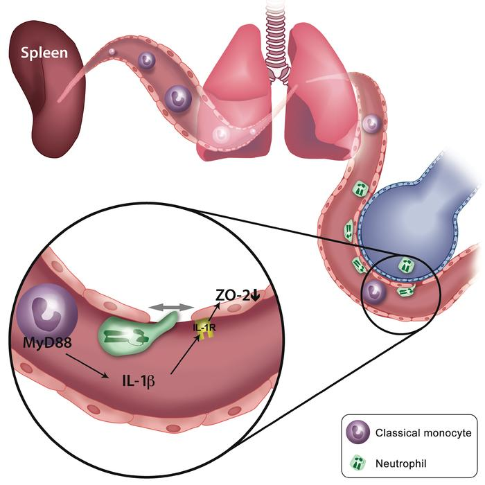 Diagram depicting how spleen-derived classical monocytes mediate extrava...