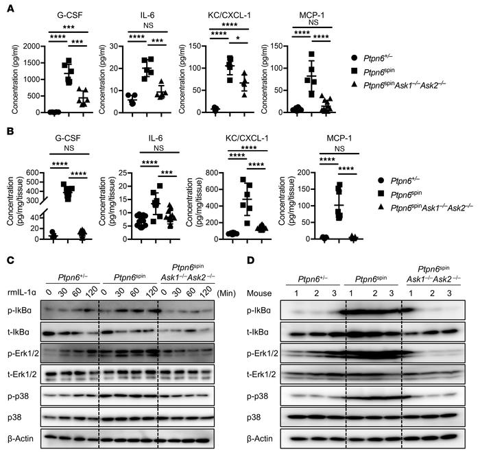 ASK1/2 instigates Ptpn6spin-mediated disease by promoting proinflammator...