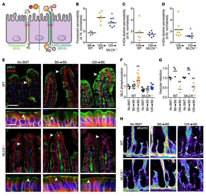 Allogeneic BMT fails to induce barrier dysfunction in MLCK–/– mice. (A) ...
