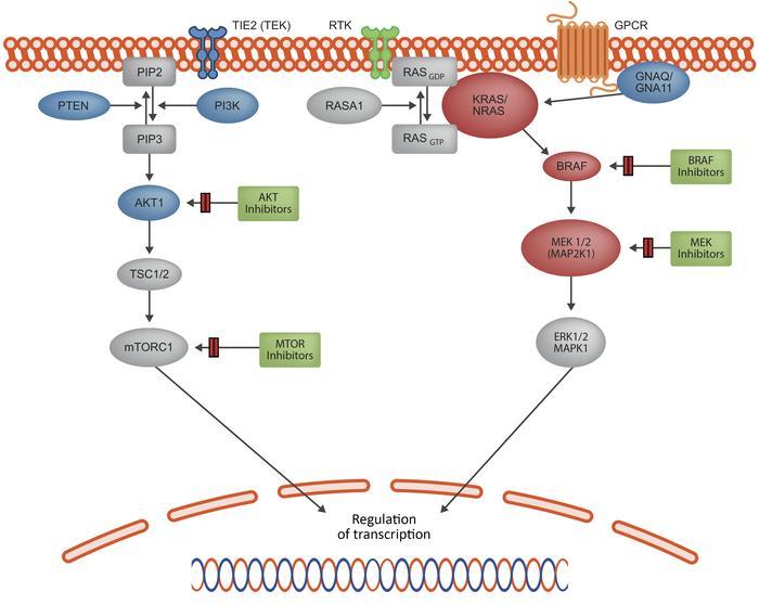 Map2k1 Pathway.Jci Mosaic Ras Mapk Variants Cause Sporadic Vascular