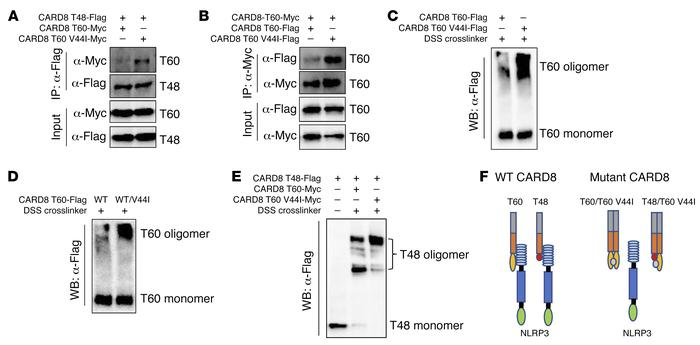Mutant CARD8 T60 disrupts interaction between T48 and NLRP3. (A) HEK293 ...
