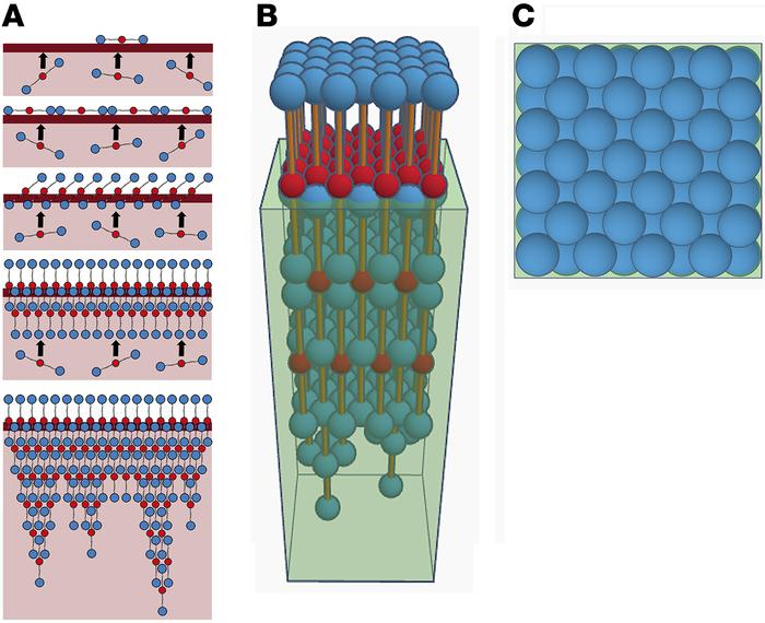 A model of fibrin film forming at the clot surface. (A) Proposed 2D mode...