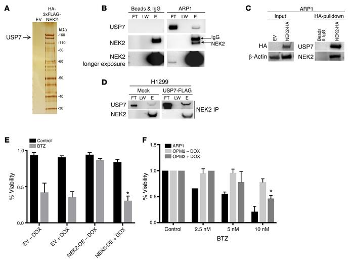 USP7 interacts with NEK2. (A) HEK293T cells were transfected with either...