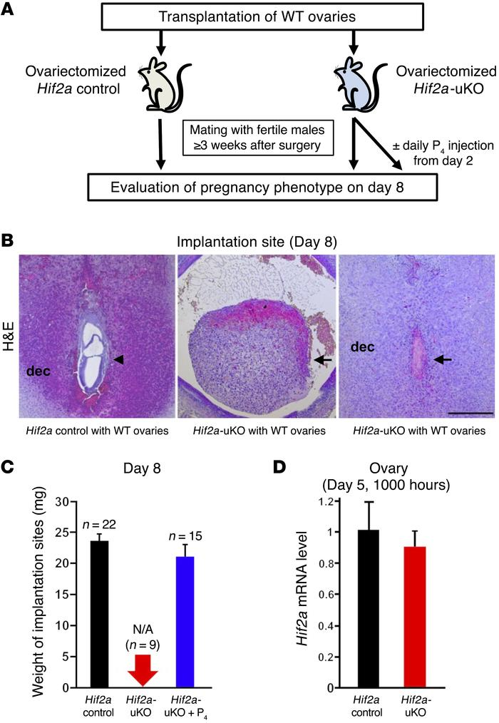 Implantation failure in Hif2a-uKO mice is not triggered by ovarian facto...