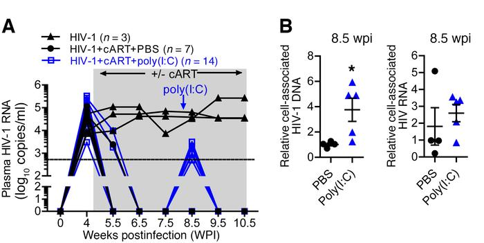 Poly(I:C) treatment activates the HIV-1 reservoir in vivo. (A) Hu-mice i...