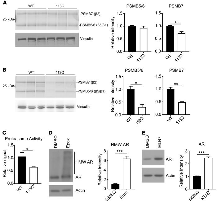 Proteasome activity is diminished in AR113Q muscle. (A and B) Lysates fr...