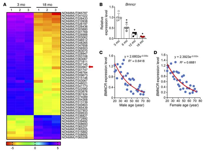 Bmncr expression in BMSCs decreased during aging. (A) Heat map of micro...