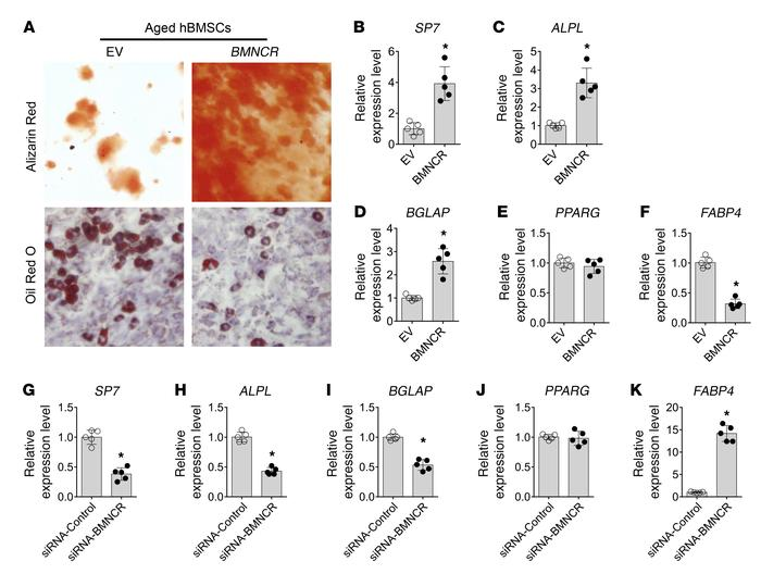 BMNCR promoted osteogenic differentiation and inhibits adipogenic diffe...