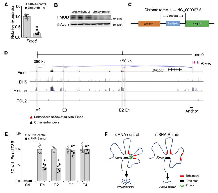 Bmncr regulated Fmod transcription and local 3D chromatin structure. (A...