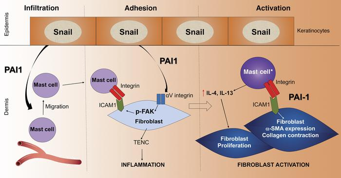 Model of the multiple roles of PAI1 in cutaneous fibrosis. PAI1 secreted...