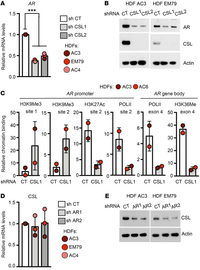 Reciprocal regulation of AR and CSL expression in HDFs. (A) RT-qPCR anal...