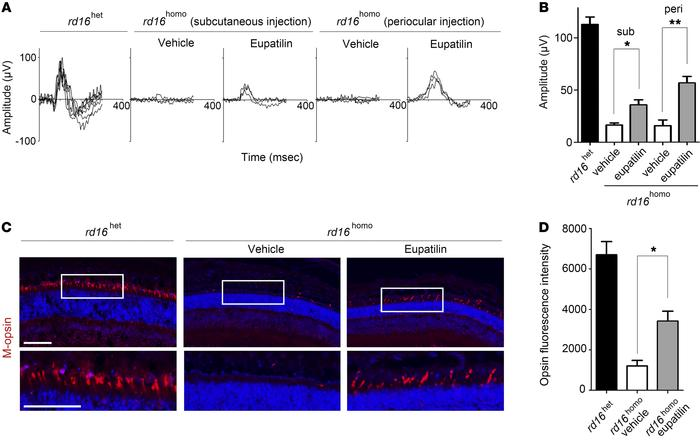 Eupatilin injection ameliorates M-opsin trafficking and electrophysiolog...