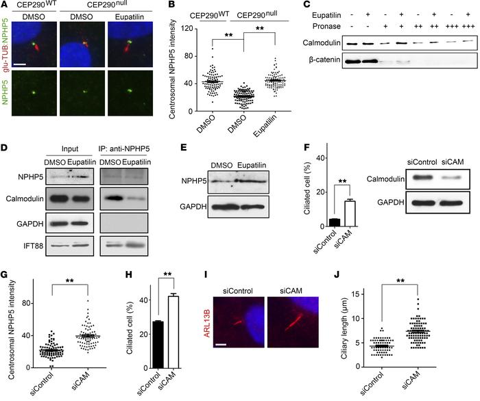 Eupatilin restores centrosomal NPHP5 levels in CEP290null RPE1 cells by ...