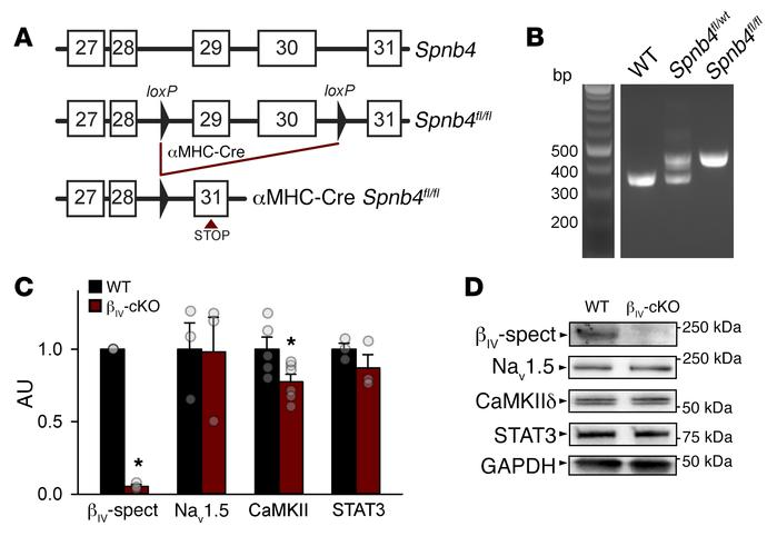 Generation of the cardiac-specific βIV-spectrin–KO mouse. (A) Schematic ...