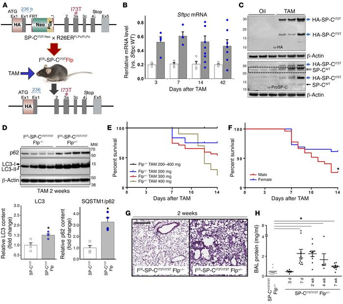 Tamoxifen induction of SftpcI73T expression in IER-SP-CI73TFlp mice caus...