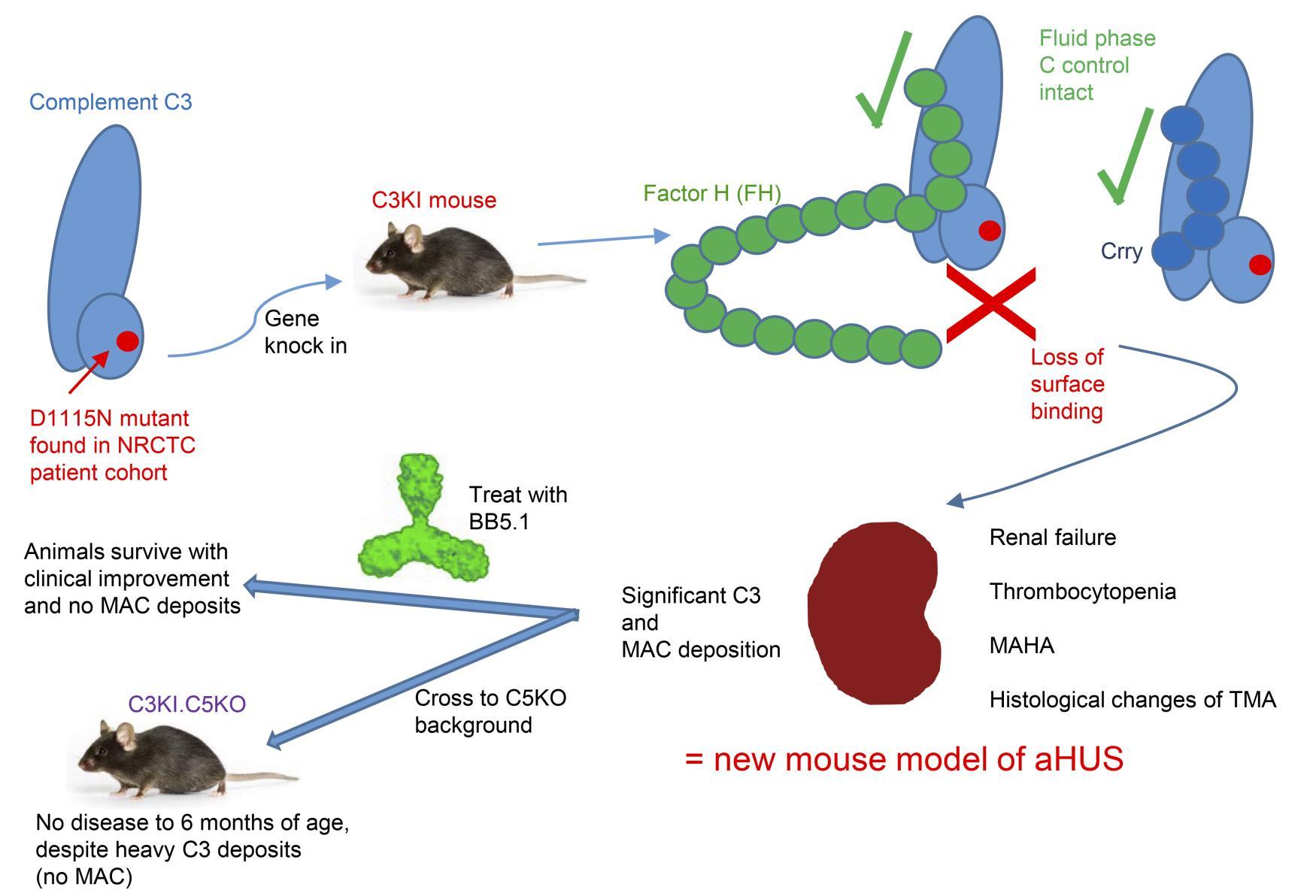 JCI - Hyperfunctional complement C3 promotes C5-dependent
