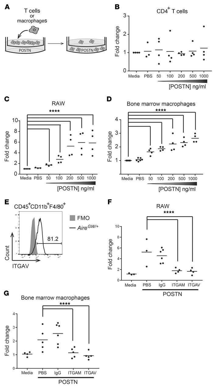 POSTN promotes macrophage chemotaxis via AM and AV integrins. (A) Transw...